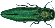304px-Agrilus_planipennis_001
